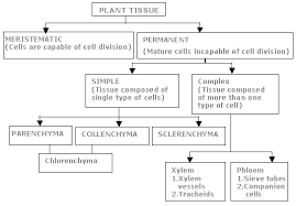 classification of plants tissues and their function