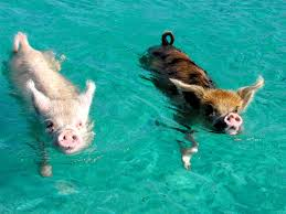 visit pig beach bahamas tiny swimming pigs of pig beach bucket