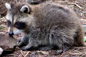 Raccoons In Backyard What Happens To Raccoons Trapped In San Francisco Bay Curious