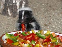 skunk eating a chilli with spicy vegs animals skunks pinterest
