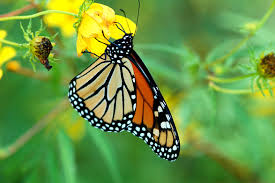 edupic butterfly life cycle page