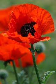 poppies flowers poppy flower free stock photos in jpeg jpg 2544x3815 format for