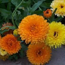 Calendula Flowers Popular Calendula Flowers Buy Cheap Calendula Flowers Lots From