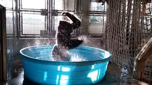 Hit The Floor Pool Dance Scene - splash u0027dancing u0027 at the dallas zoo with zola the gorilla cnn