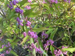 ornamental fruit vinland valley nursery