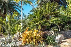 aechmea blanchetiana bulletproof bromeliad southern california