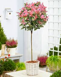 Lollipop Topiary Tree Deal Hardy Evergreen Photinia Serratifolia Pink Crispy Standard