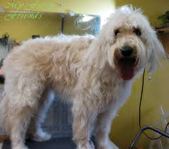 how to cut a goldendoodles hair pet grooming the good the bad the furry grooming