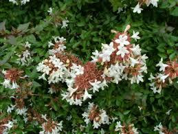 my favorite shrubs bushes for the philadelphia area newtown
