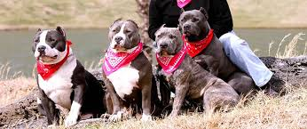 american pitbull terrier kennels usa xxl rednecks choice xl xxl pitbulls west va