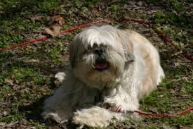 shih tzu with curly hair difference between a shih tzu and lhasa apso american dog blog