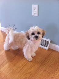 how to cut a shichon s hair how to give a dog a hair cut youtube all about shichon s and