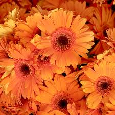 orange gerbera daisies photograph by art block collections