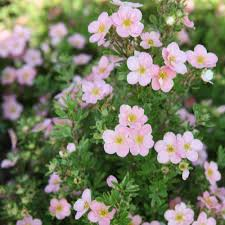 breton gardens family dentistry potentilla fruticosa u0027pink beauty u0027 large plant shrubs van