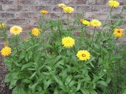 calendula flowers how to grow calendula flowers growing calendula seeds