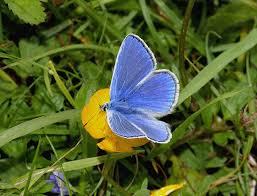 butterflies of europe polyommatus icarus