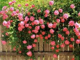 150 seeds pink climbing roses morden cvs of chlimbers and