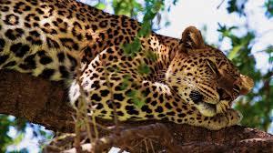 african safari animals african safari backgrounds african safari jaguar wallpapers