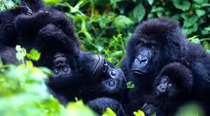 gorilla balloon 12 day uganda tour gorillas drives mtb boat balloon