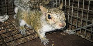 Squirrel In Basement by How To Get Rid Of Squirrels