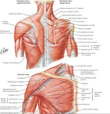 Anatomy Of The Right Arm The Role Of The Scapula In Shoulder Impingement Syndrome Part 2
