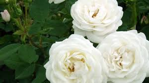 Types Of Garden Flowers - types of white garden roses orchid flowers