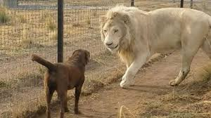lion dogs a chocolate lab and a white lion exchange a high five in mexico city