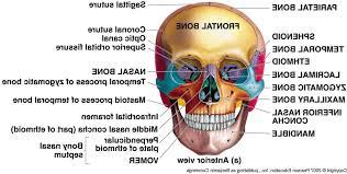 Human Anatomy Skull Bones Anatomy Skull Labeling Anatomy Of The Skull Bones Human Anatomy
