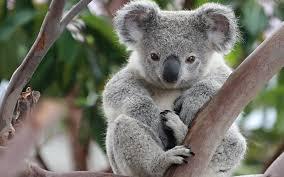 visit australia and die of cuteness album on imgur
