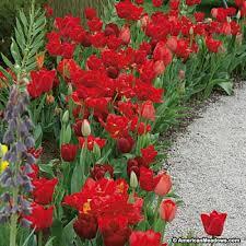 endless spring red tulip bulbs american meadows