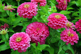 growing zinnia plants tips on how to plant zinnias
