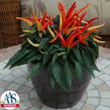 ornamental pepper chilly chili f1 harris seeds