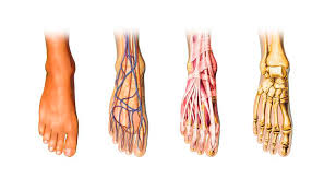 Foot Tendons Anatomy Foot Anatomy And Physiology