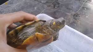 Ringed Map Turtle Mississippi Map Turtle Eating Youtube