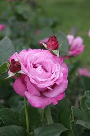 204 best images about rose apothecary on pinterest medicine
