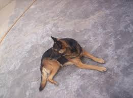 belgian shepherd for sale in islamabad lahore pakistan ads for pets u0026 animals u003e dogs puppies 3 free