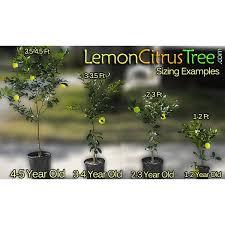 2 3 year honeybell tangelo tree