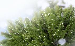 snow over leaves of pine trees macro photo and wallpaper