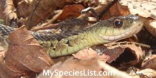 snakes archives my species list new england atlantic canada