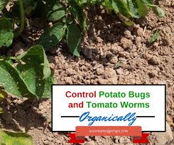 Gardening Pest Control - best 25 potato bugs ideas on pinterest bugs home insects and