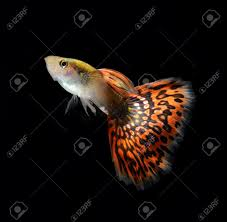 guppy stock photos u0026 pictures royalty free guppy images and stock