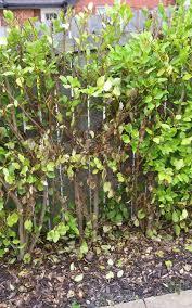 Kings Plant Barn Remuera How To Get Rid Of Root Rot Dieback Kings Plant Doctor