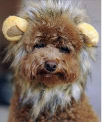 Lion Halloween Costumes Dogs 10 Dog Wigs Images Wigs Diapers Extensions