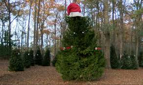 picking the right christmas tree the southern weekend