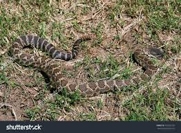 pacific rattle snake yard stock photo 757622755 shutterstock