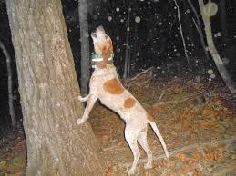 bluetick coonhound west virginia ukc forums west virginia redtick kennel