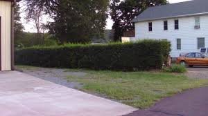halloween hedge bush in front of my old house michael myers net