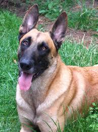 belgian shepherd us army adoptafurryhero www facebook com adoptafurryhero