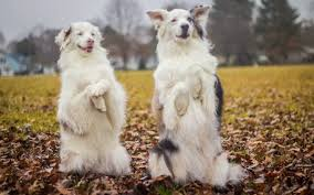 australian shepherd double merle keller the double merle doesn u0027t let being deaf keep her off the