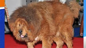 lion dogs mane event china zoo s lion was living a lie as dog in disguise